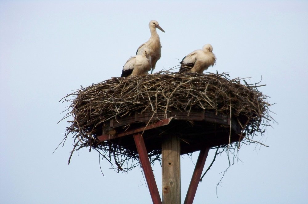 Elbe - Stork