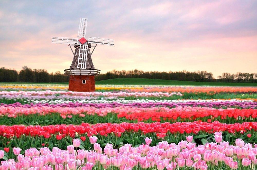 tulpenveld met molen