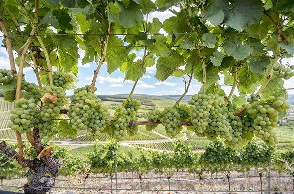 fietsen langs de Main met uitzicht op druiven