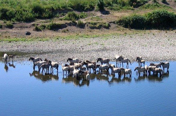 Paarden in de Maas