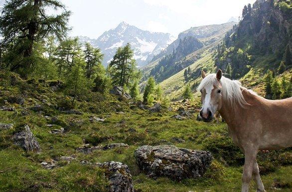Tiefental paard