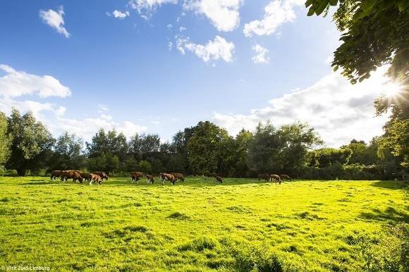 Koeien in weiland bij kasteel Schaleon