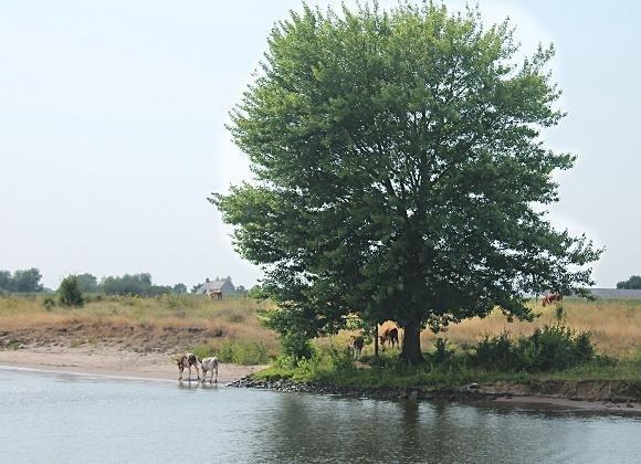 koeine in de Waal