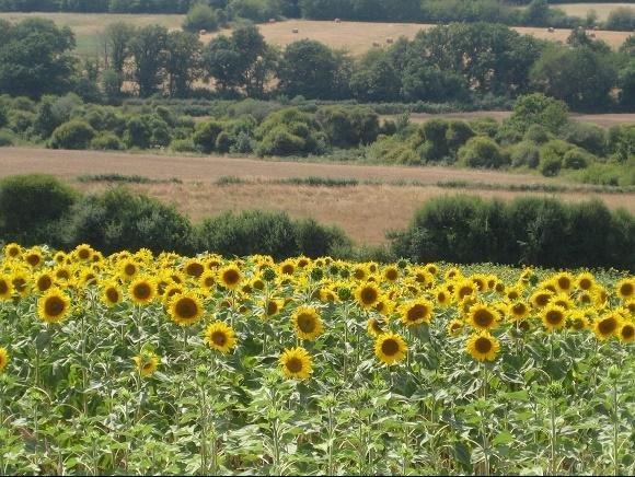 Het Franse Pad, zonnebloemen